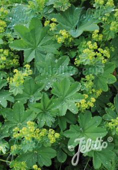 ALCHEMILLA xanthochlora   Seeds