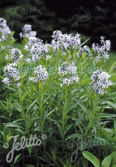AMSONIA tabernaemontana   Seeds