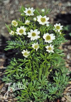 ANEMONE multifida  'Major' Seeds