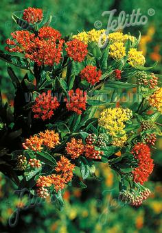 ASCLEPIAS tuberosa  'Gay Butterflies' Seeds