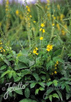 AGRIMONIA eupatoria   Portion(s)