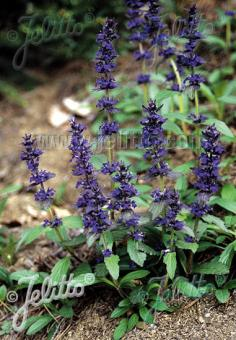 AJUGA genevensis   Portion(en)