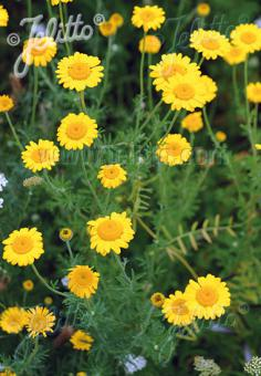 ANTHEMIS tinctoria   Portion(s)