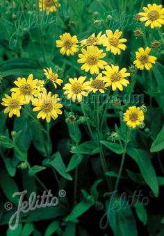 ARNICA chamissonis   Portion(s)