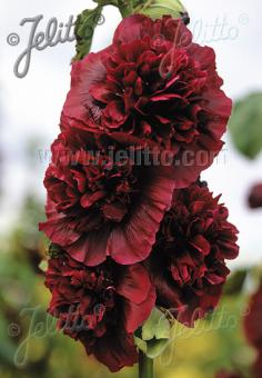 ALCEA rosea plena Chaters-Series 'Chaters purple' Portion(s)