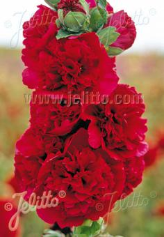 ALCEA rosea plena Chaters-Series 'Chaters red (scarlet)' Portion(s)