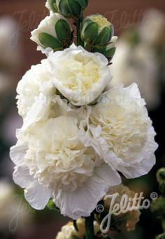 ALCEA rosea plena Chaters-Series 'Chaters white' Portion(s)