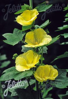 ALCEA Rosea-Hybr. Spotlight Series 'Sunshine' Portion(s)