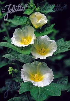ALCEA Rosea-Hybr. Spotlight Series 'Polarstar' Portion(s)