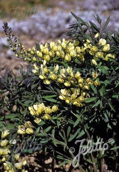 BAPTISIA leucophaea   Portion(s)