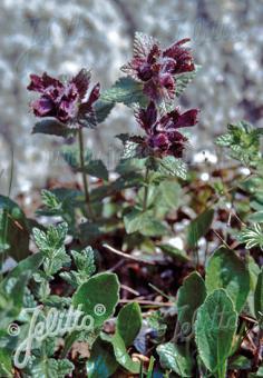 BARTSIA alpina   Portion(s)