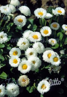 BELLIS perennis Rominette-Series 'Rominette White' Portion(s)