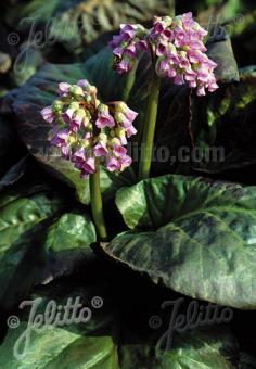 BERGENIA cordifolia   Portion(s)