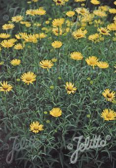 BUPHTHALMUM salicifolium   Portion(en)