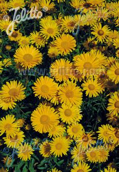 BUPHTHALMUM salicifolium  'Alpengold' Portion(s)
