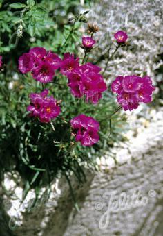 CALANDRINIA umbellata   Portion(en)