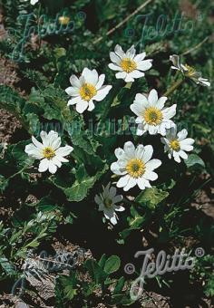 CALTHA palustris var. alba   Portion(s)