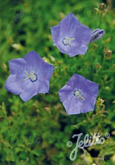 CAMPANULA carpatica   Portion(s)