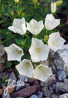 CAMPANULA carpatica  'White Clips' Portion(s)