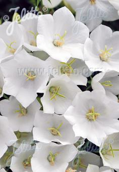 CAMPANULA carpatica  'White Uniform' Portion(s)