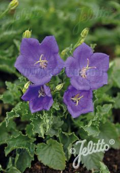 CAMPANULA carpatica  'Pearl Deep Blue' Portion(en)