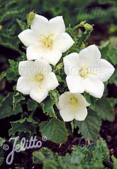 CAMPANULA carpatica  'Pearl White' Portion(s)