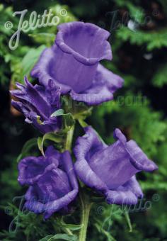 CAMPANULA medium  'Calycanthema Mix' Portion(s)