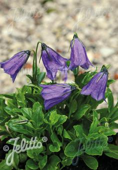 CAMPANULA pulla  'Blue Drops' Portion(s)