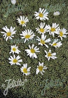 CELMISIA sessiliflora   Portion(s)