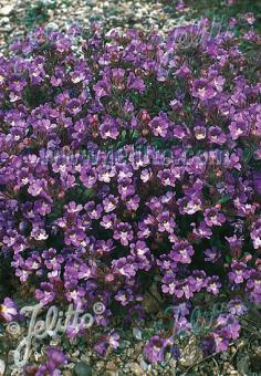 CHAENORHINUM origanifolium  'Blue Dreams' Portion(s)