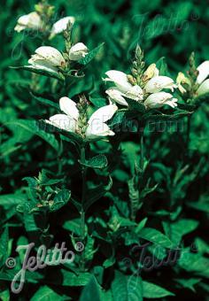 CHELONE obliqua var. alba   Portion(s)