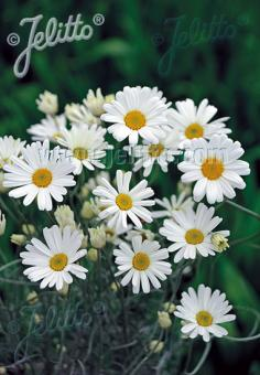 TANACETUM cinerariifolium   Portion(s)