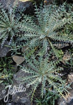 CIRSIUM diacanthum   Portion(s)