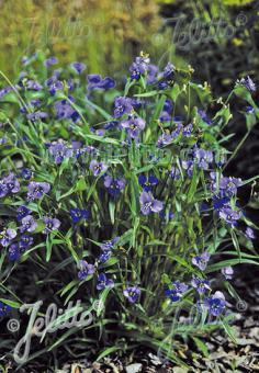 COMMELINA dianthifolia   Portion(s)