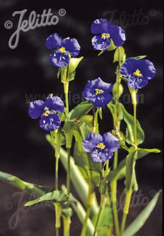 COMMELINA coelestis   Portion(en)