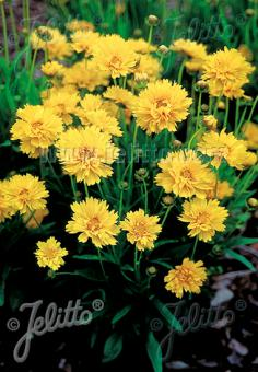COREOPSIS grandiflora  'Early Sunrise' Portion(en)