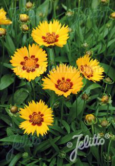 COREOPSIS grandiflora  'Sunfire' Portion(s)