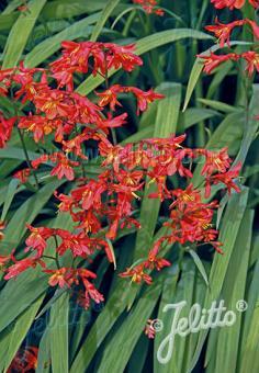 CROCOSMIA Paniculata-Hybr.  'Orangerot' Portion(s)