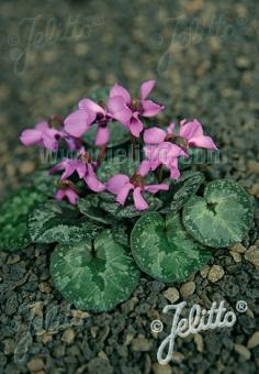 CYCLAMEN alpinum   Portion(en)