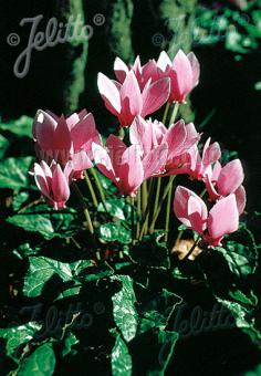 CYCLAMEN hederifolium   Portion(s)
