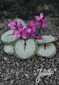 CYCLAMEN coum Silver Group 'Silver Leaf Pink' Portion(s)