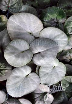 CYCLAMEN coum Silver Group 'Silver Leaf White' Portion(s)