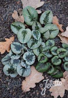 CYCLAMEN coum  'Pattern Leaf Forms' Portion(en)