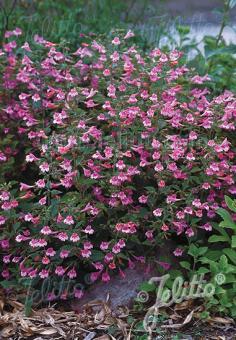 CALAMINTHA grandiflora   Seeds