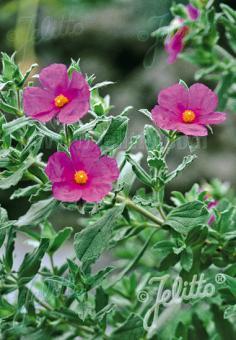 CISTUS incanus ssp. tauricus   Seeds