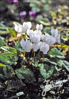 CYCLAMEN hederifolium  'Perlenteppich' Korn