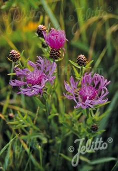 CENTAUREA jacea   Portion(en)