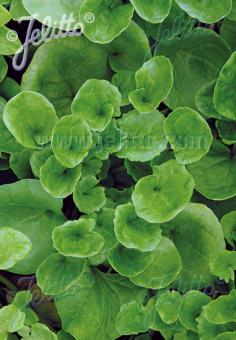 COCHLEARIA officinalis   Portion(s)