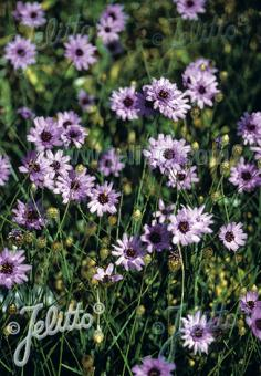CATANANCHE caerulea   Portion(s)