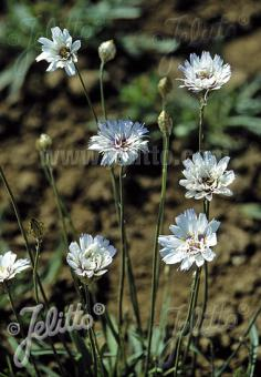 CATANANCHE caerulea  'Alba' Portion(s)